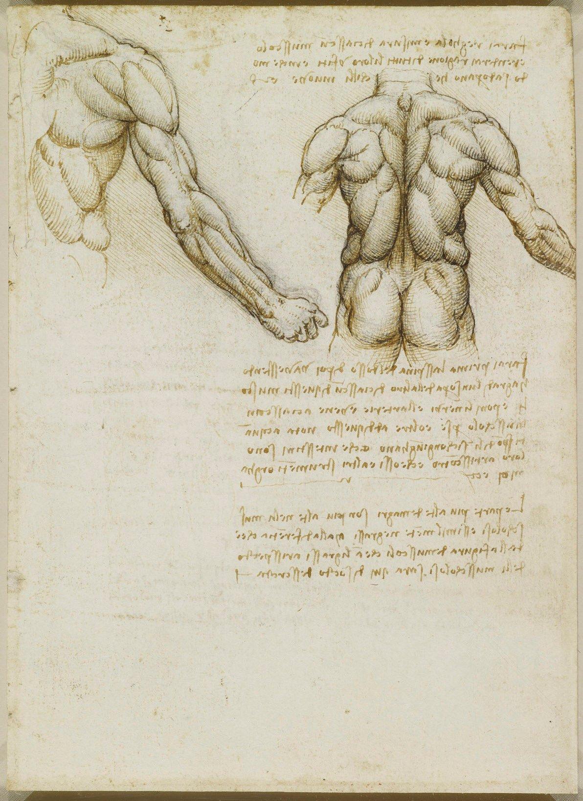 Leonardo da Vinci (Vinci 1452-Amboise 1519) - Recto: The muscles of ...