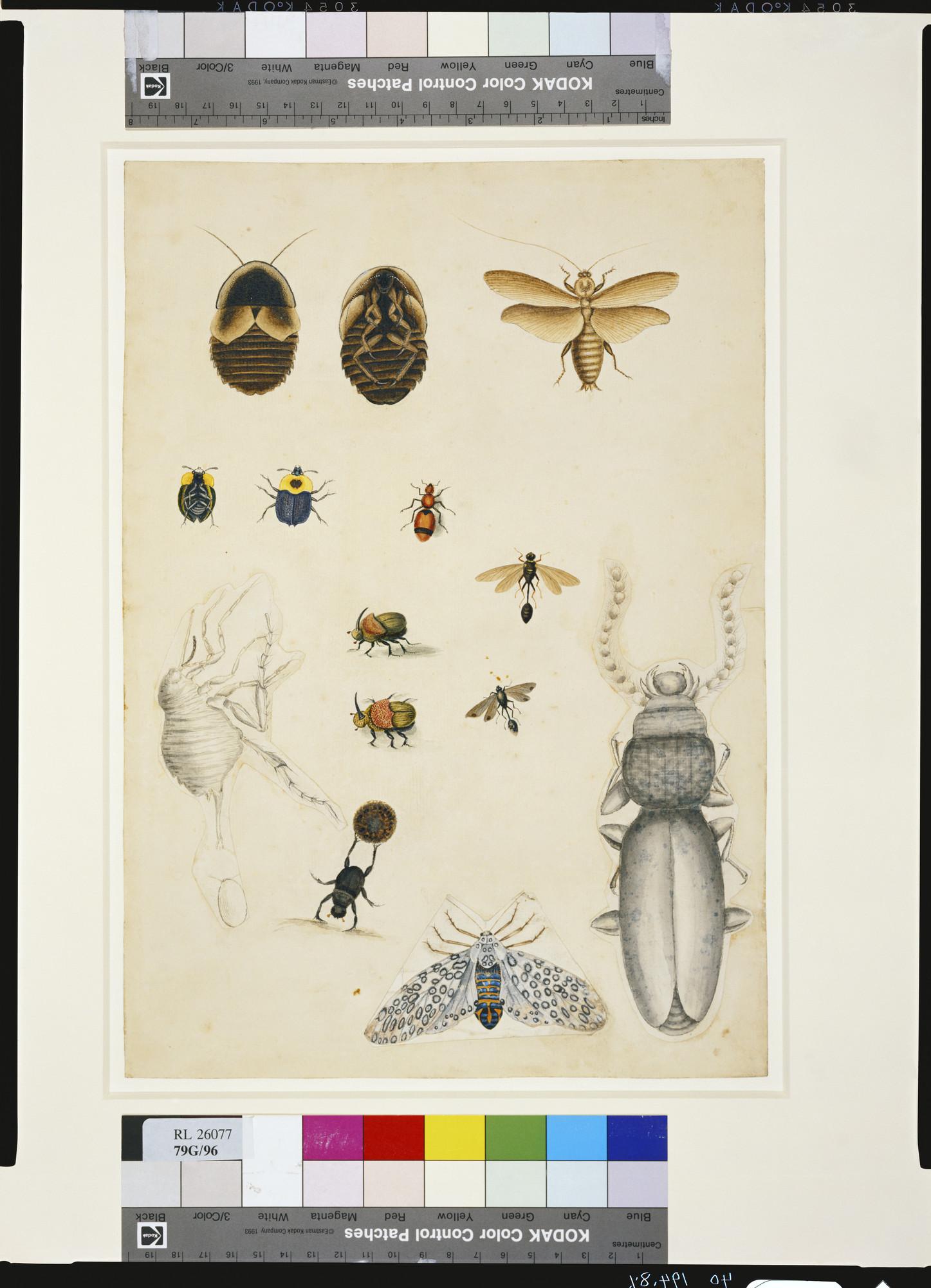 Mark Catesby (1682-1749) - Blatta maxima fusca peltata, The
