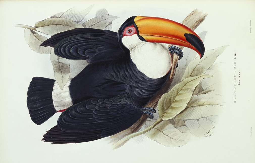 John Gould was born in Lyme Regis on the Dorset coast in 1804 but was brought up in Surrey and later Windsor, where his father was one of the gardeners at the castle. The young Gould taught himself taxidermy from an early age and soon established a skill