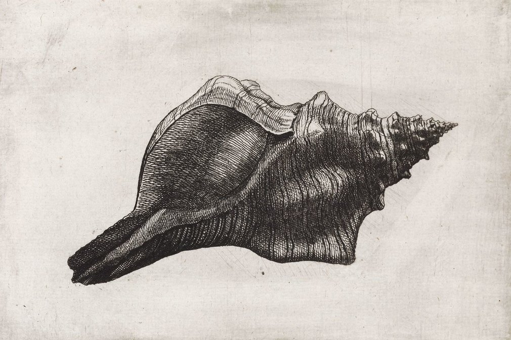 An etching of a trapezium horse conch, Pleuroploca trapezium Linnaeus, 1758 [Fasciolariidae; Abbott & Dance p. 182]. Indo-Pacific, to 150 mm. Copied in Buonanni, 2.III.287, reversed with the addition of a shadow; this in turn copied in Lister, IV.14.1
