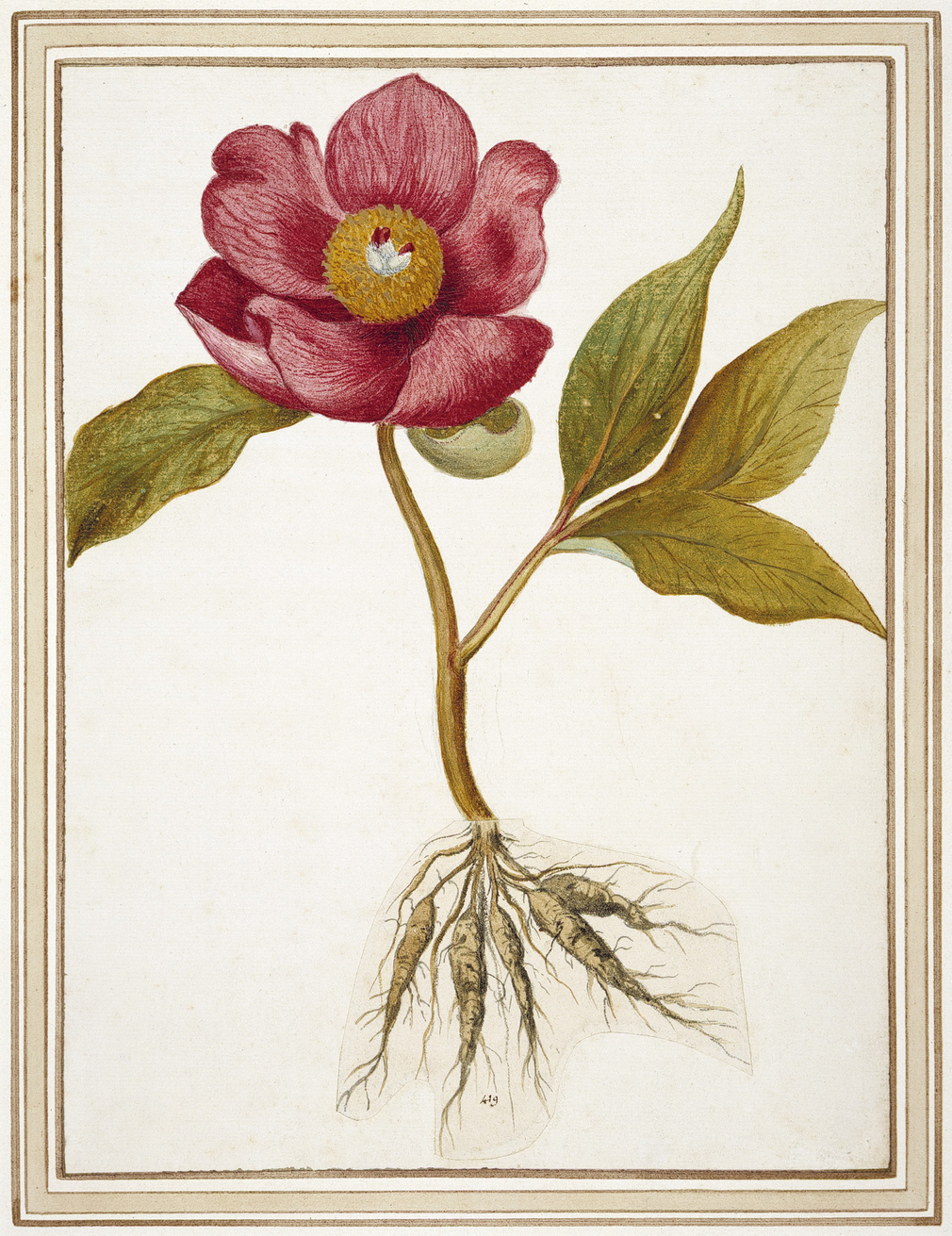 A watercolour of a Peony, from the family Ranunculaceae; mounted in a Cassiano mount type D. The drawing shows the roots and a single flower with large pink petals. The roots drawn on a separate sheet of paper cut out and stuck on.  This drawing is one
