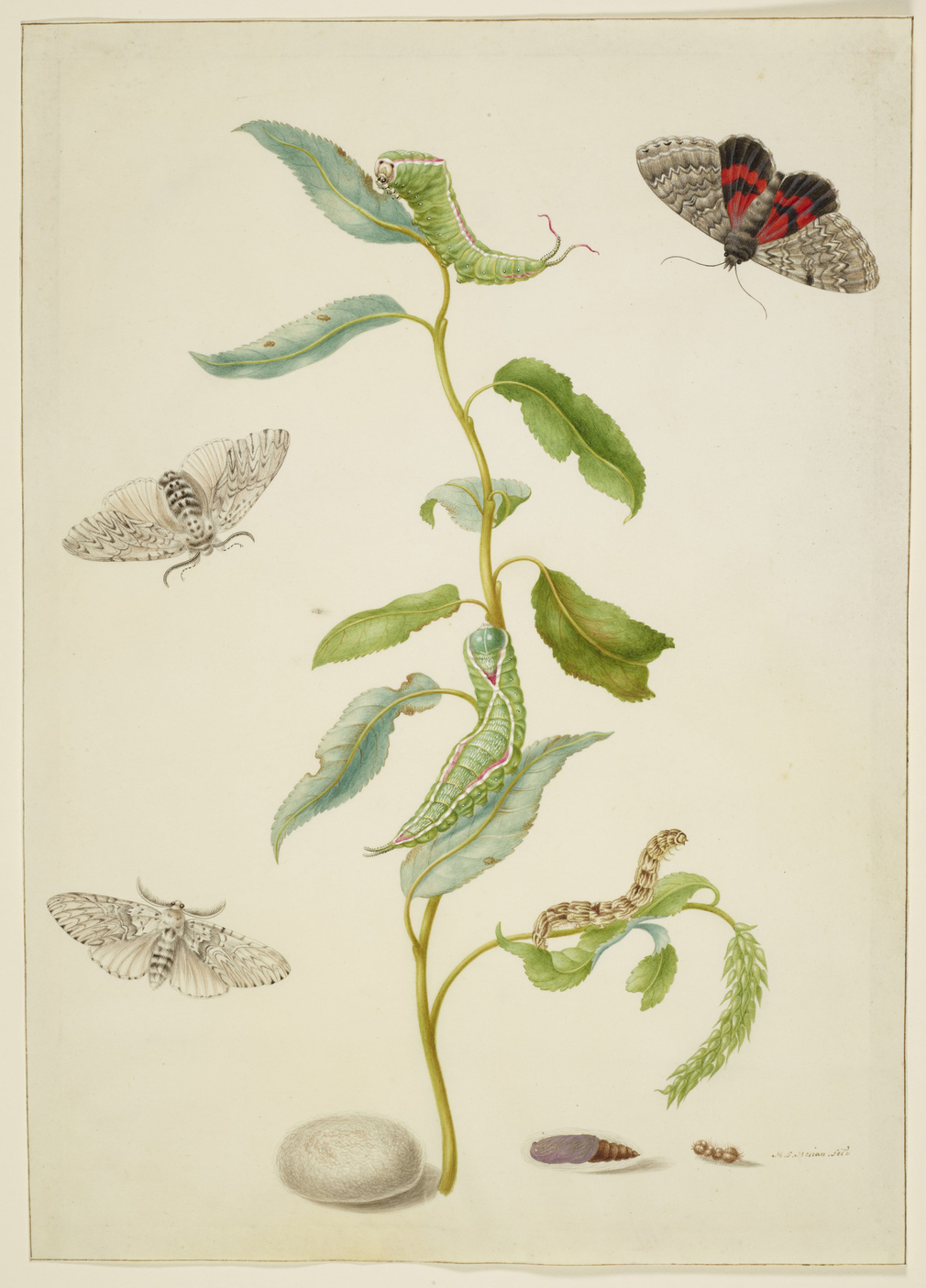 A watercolour of a branch of an unidentified Willow (<em>Salix</em>) with the life cycle of the Puss Moth (<em>Cerura vinula</em>) and the Red Underwing Moth <em>(Catocala nupta)</em>. The depiction of both life cycles are adapted