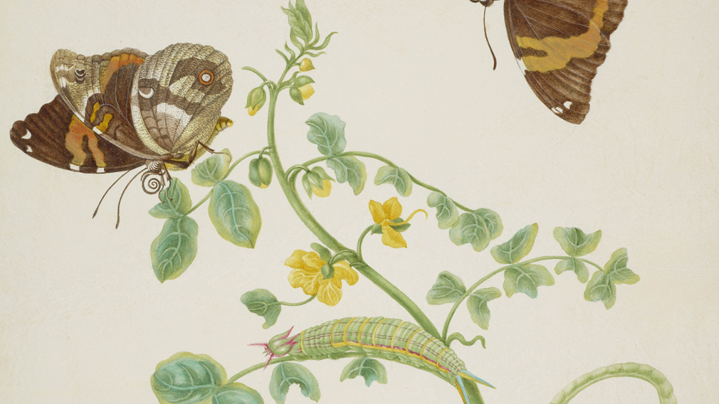 Maria Sibylla Merian, Coffee Senna with Split-Banded Owlet Butterfly
