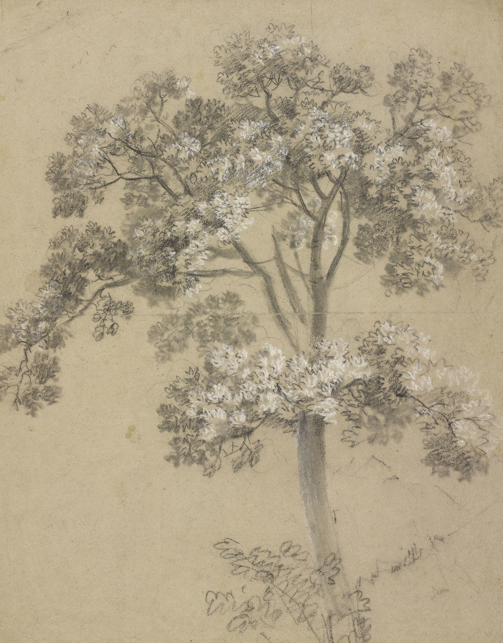 Thomas Gainsborough, Study of a tree, possibly a sycamore, c.1746-48