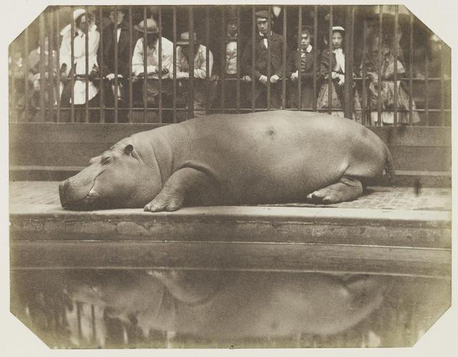 Obaysch, the Hippopotamus, London Zoo