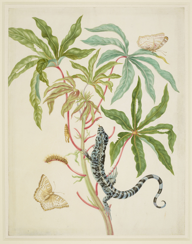 Cassava with White Peacock Butterfly and young Golden Tegu