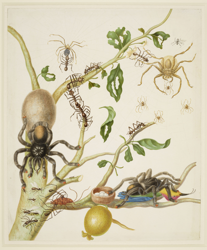 Branch of Guava tree with Army Ants, Pink-Toe Tarantulas, Huntsman Spiders, and Ruby-Topaz Hummingbird