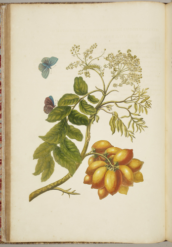 Metamorphosis insectorum Surinamensium, . . . tum etiam generatio ranarum, busonum rariorum, . . . omnia in America ad vivum . . . / picta atque descripta per Marian Sibyllam Merian