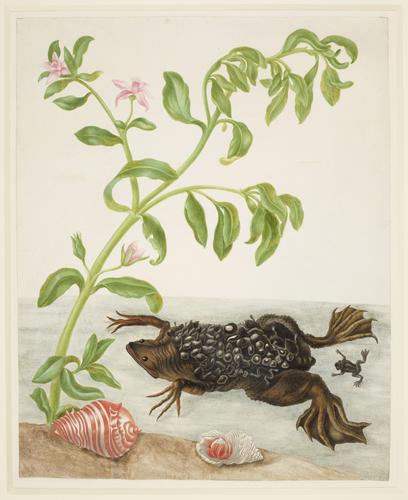 Shoreline Purslane and Suriname Toad