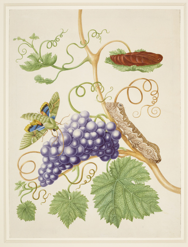 Grape Vine with Gaudy Sphinx Moth