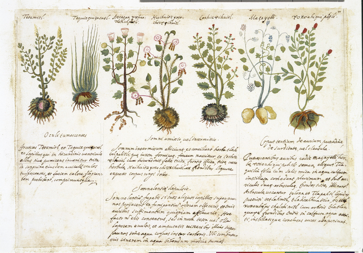 Page from a copy of an Aztec Herbal