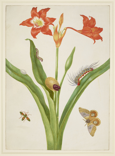 Barbados Lily with Bullseye Moth and Leaf-Footed Bug
