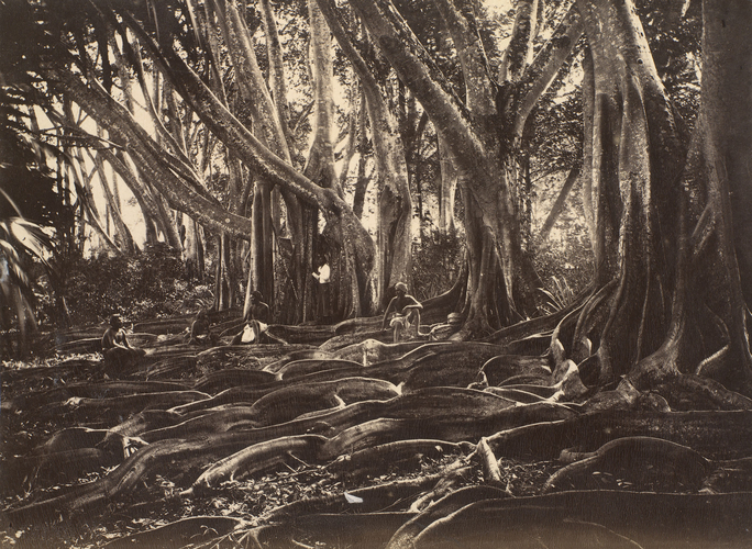 Roots of India-rubber trees