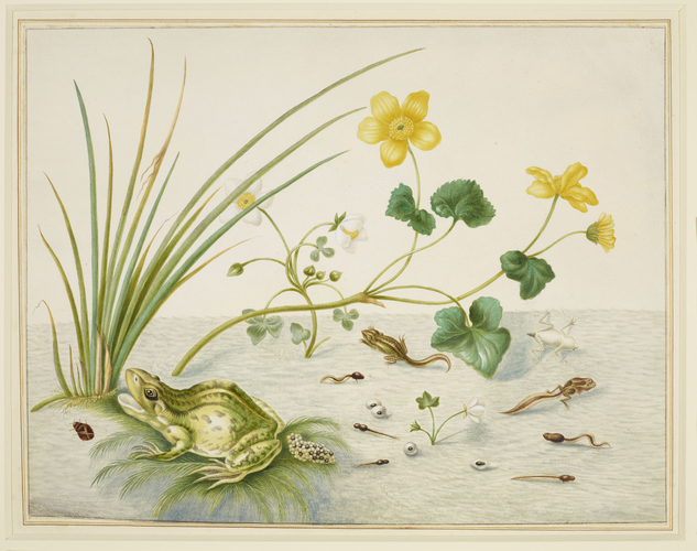Marsh Marigold with the life stages of a frog