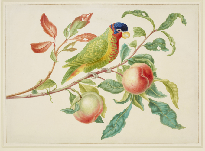 Ornate Lory on a branch of Peach