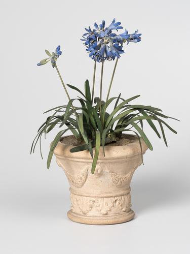 Agapanthus in pot