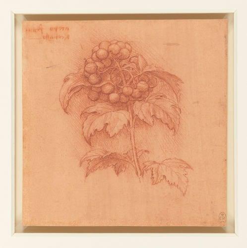A sprig of guilder-rose