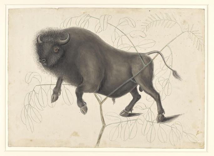 Bison Americanus and Pseudo Acacia