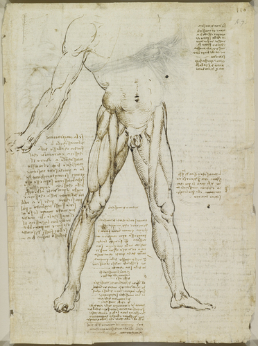 Recto: The muscles of the leg. Verso: The muscles of the trunk and leg