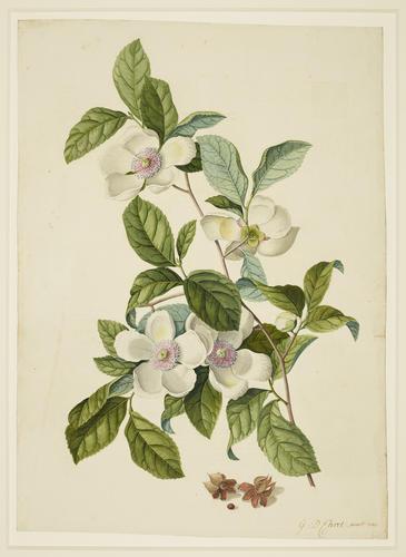 Silky Camellia