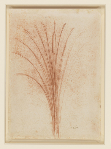Recto: A branched bur-reed (Sparganium erectum). Verso: A lesser reed-mace (Typha angustifolia)