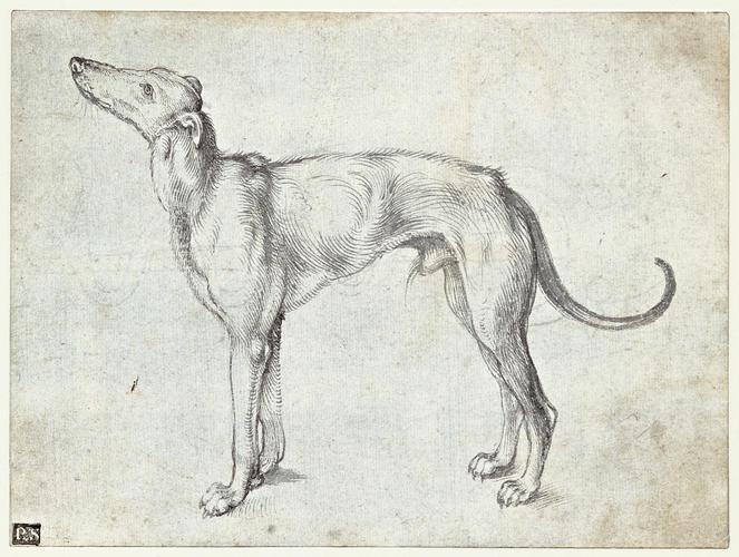 A greyhound