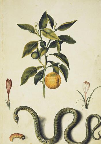 Seville orange, purple crocuses, grass snake and goat moth caterpillar