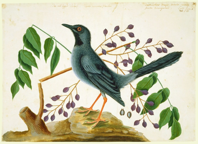 The Red-leg'd Thrush and the Gum-Elimy Tree