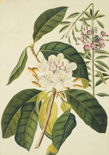 Chamaerhododendron lauri folio and Chamaerhododendron sempervierens foliis oblongis