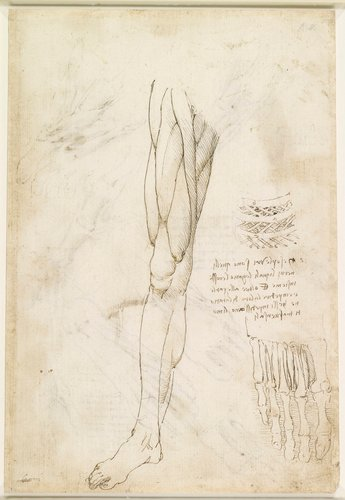 Recto: The muscles of the leg, and the intercostal muscles. Verso: The muscles of the foot