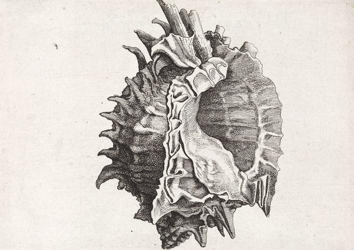 Pink-mouth murex (Phyllonotus erythrostomus)