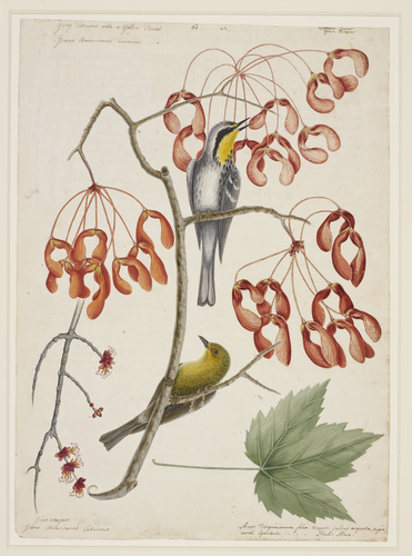 Yellow-throated warbler, pine warbler and red maple