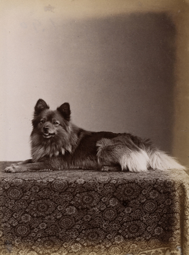 'Marco', Queen Victoria's pet Pomeranian dog at the Royal Kennels, Windsor, 1890