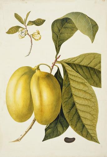 Anona fructu lutescente