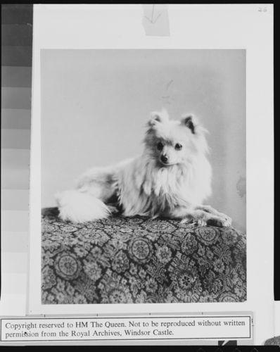'Gina', pet dog of Queen Victoria, 1888
