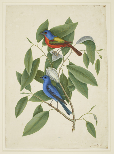 Recto: The Painted Finch and the Loblolly Bay. Verso: The Swallow-tailed Hawk