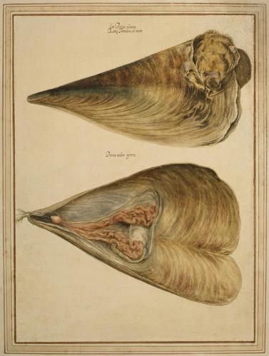 Noble pen shell
