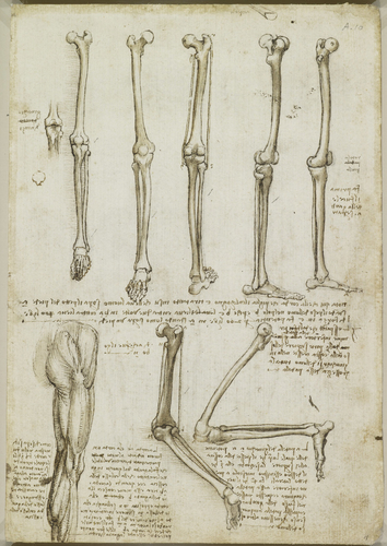 Recto: The bones and muscles of the leg. Verso: The muscles of the shoulder, arm and neck