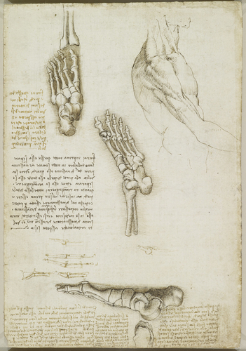 Recto: The bones of the foot. Verso: The bones and muscles of the arm