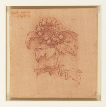 A study of a spray of guelder rose, with a cluster of berries; with an inscription above the drawing; <em>acero frutta, di corallo</em>. The leaves are shown curling and sagging, for Leonardo was interested not merely in the shape of their outline, b