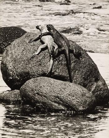 Photograph of two Marine Iguanas basking side by side on a rock