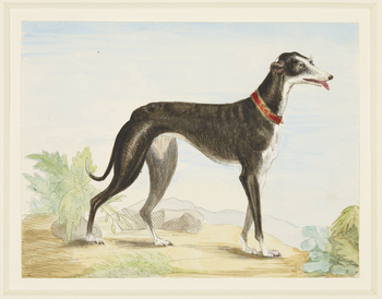 Another impression of RCIN 816058, trimmed and hand-coloured. An etching showing Prince Albert's greyhound Eos. She is shown full-length, standing and facing right. She is wearing a collar inscribed with her name and has her tongue hanging out. A small bu