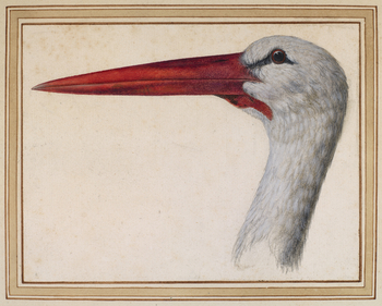 A watercolour study of the head of an European White Stork.  Ornithology was the aspect of the natural world that engaged Cassiano most deeply. He owned over two hundred drawings of birds, and wrote several short treatises on the subject. The white stor