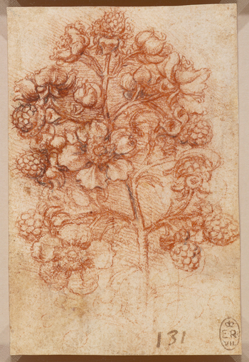 A study of a spray of blackberry, showing fruit and flowers.  Leonardo made several studies of branches of blackberry, possibly in connection with his painting of Leda and the swan. While they capture the vigorous nature of the bramble's growth, they