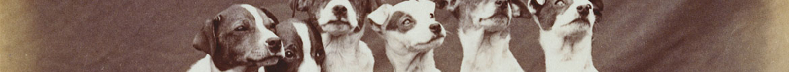 A row of terrier dogs looking towards the camera