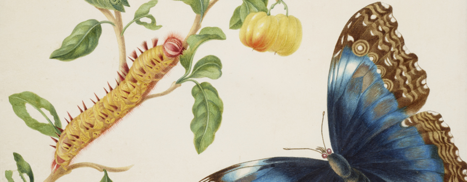 Merian drawing of butterfly and caterpillar