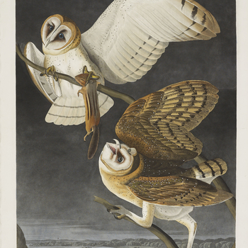 John James Audubon (1785-1851) was a self-taught artist specialising in ornithological (bird) paintings and is most famous for his magnificent double-elephant folio, The Birds of America, published between 1827 and 1837, which consists of 435 hand-co
