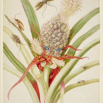 A watercolour of a Pineapple (Ananas comosus) with Cockroaches (Periplaneta australasiae and Blattella germanica). This is a version of plate one in Merian's Metamorphosis Insectorum Surinamensium. Merian described the pineapple as 'the most outstan