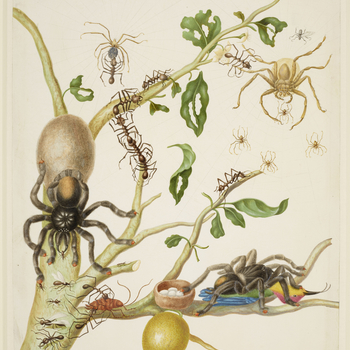 A watercolour of a branch from a Guava tree (Psidium guineense) with Army Ants (Eciton sp.), Pink-Toed Tarantulas (Avicularia avicularia), Hunstman Spiders (Heteropoda venatoria) and a Ruby-Topaz Hummingbird (Chrysolampis mosquitus). This is a version of