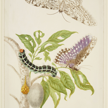 A watercolour of a branch from the Gumbo-Limbo Tree (Bursera simaruba) with the life stages of a White Witch Moth (Thysania agrippina). This is an adaption of plate 20 of Merian's Metamorphosis Insectorum Surinamensium. Maria Sibylla Merian was